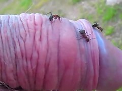 Kinky dude pokes his small cock into an ant hill and enjoys it